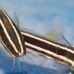 Συναγερμός στο Αιγαίο: Νέες αφίξεις από δηλητηριώδη ψάρια